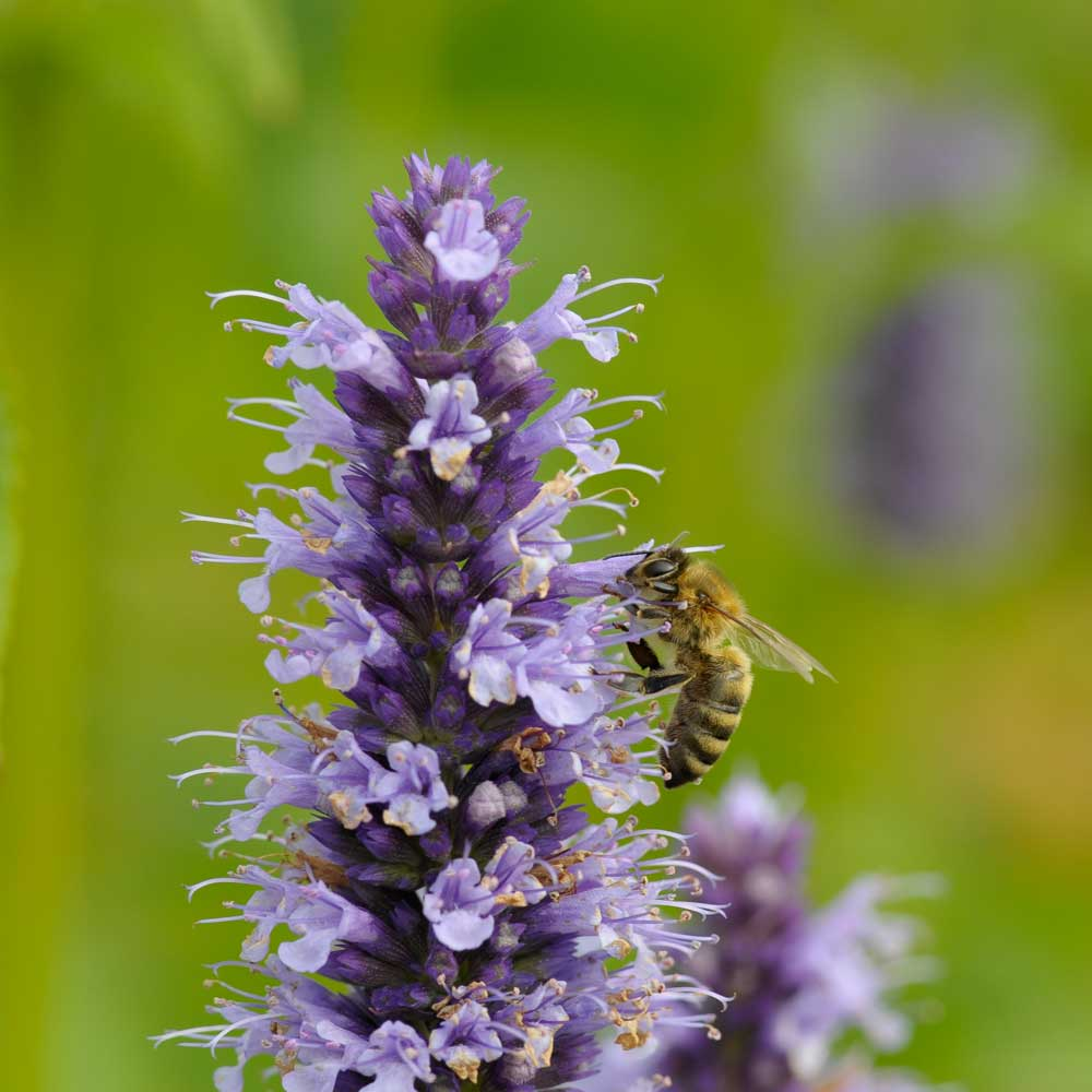 Image of Anise Hyssop