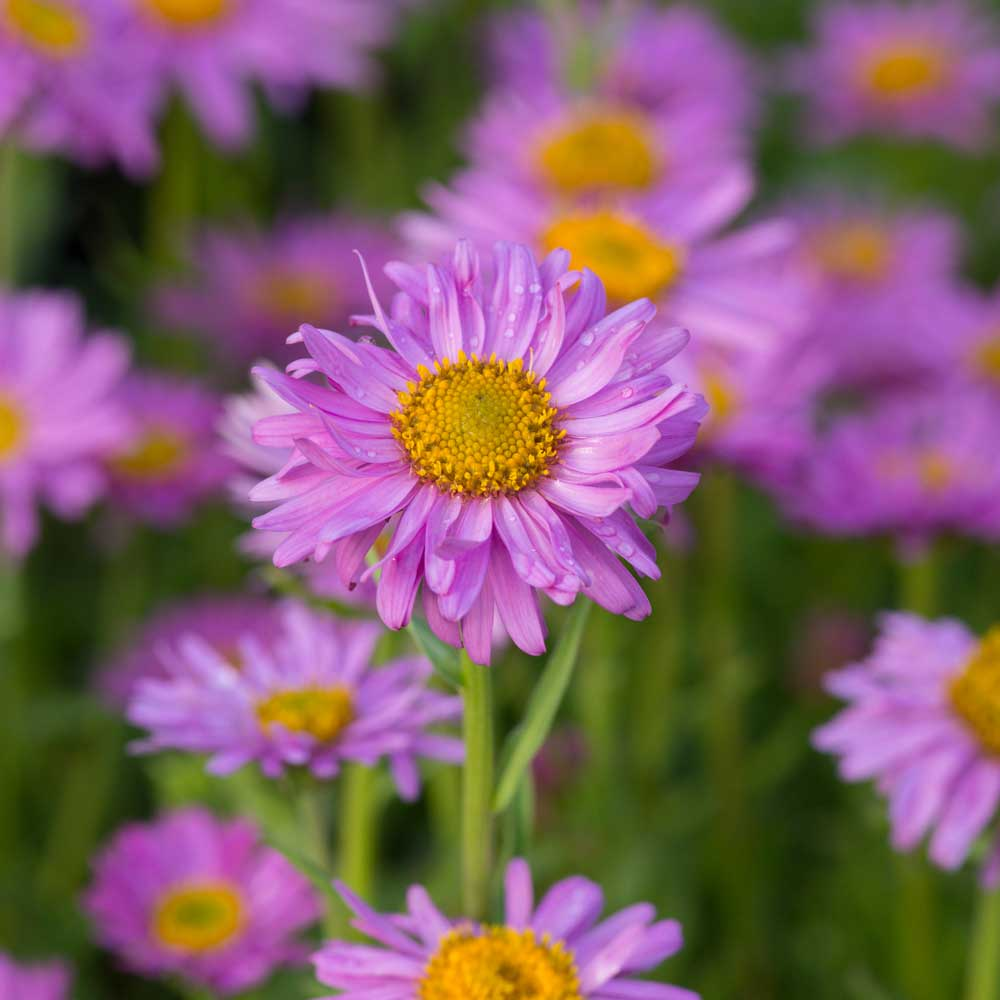 Image of Alpine Aster