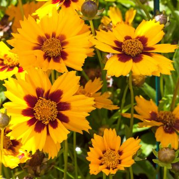 Coreopsis 'Baby Gold'