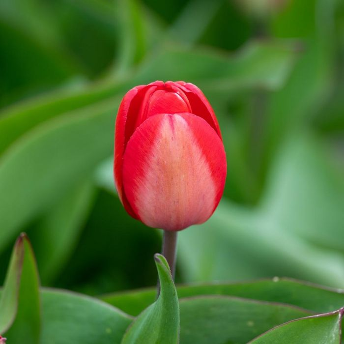 Tulip 'Red Impression' Bulbs - 10 Pack