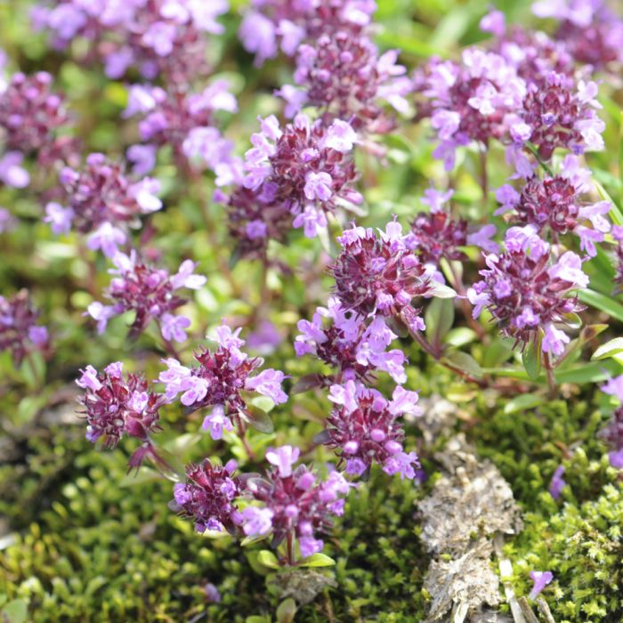 Creeping Thyme - 8 pack