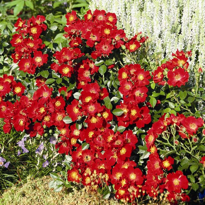 Bee Perfect Rose (Bijenweelde®) Red