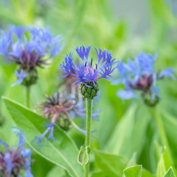 Mountain Cornflower
