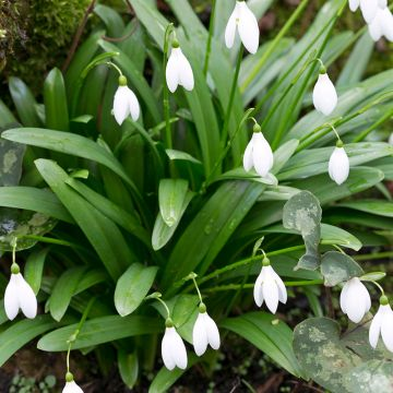 Green Snowdrops - 25 Bulbs
