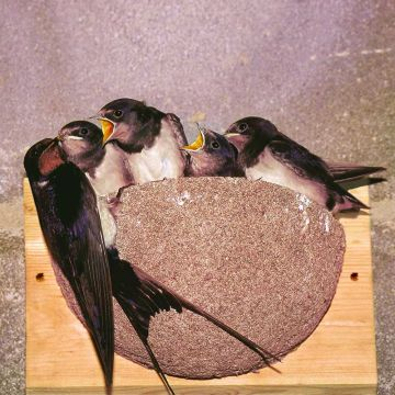 Swallow Nest Box