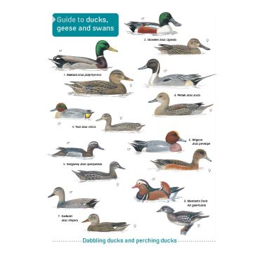 ID Chart - Guide to Ducks, Geese and Swans