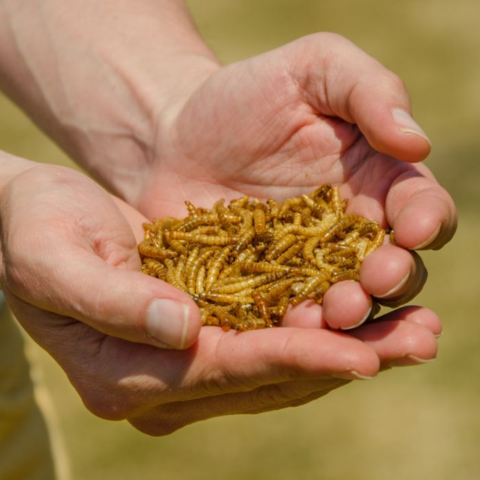 Dried Mealworms - Bird Food