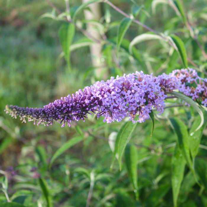 Butterfly Bush 'Clive Farrell'